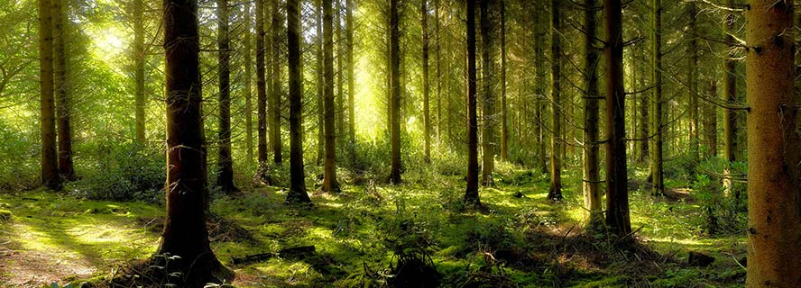 Pine Forest, Norfolk